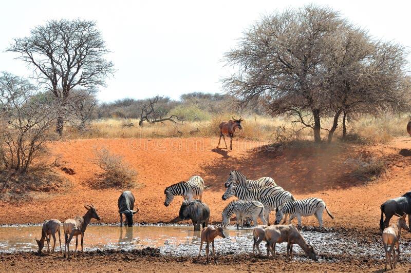 Wildebeest, zebra e Tsessebe blu immagini stock libere da diritti