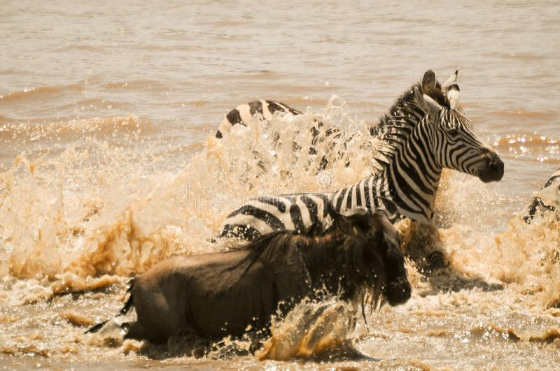 Wildebeest and zebra ford the Mara River in Tanzania during the migration. stock photo