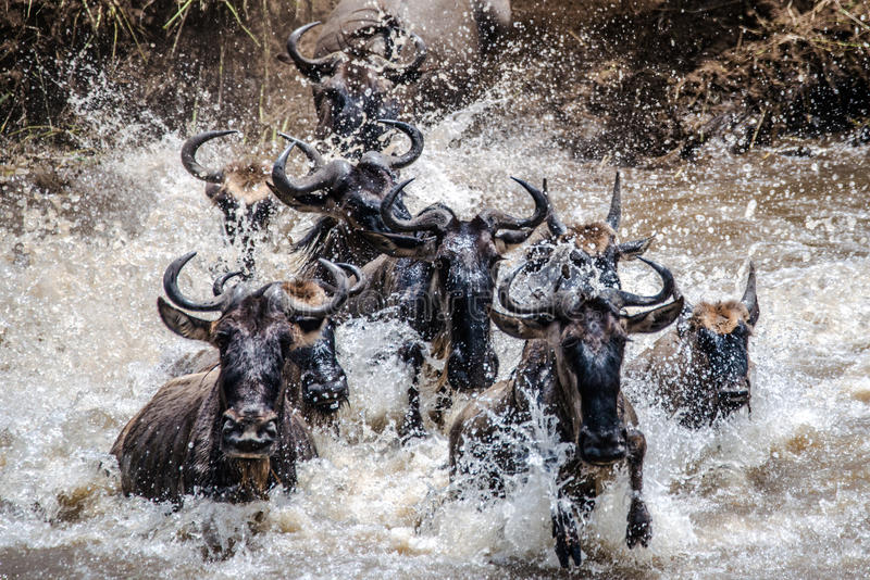 Wildebeestmigratie in Serengeti stock fotografie