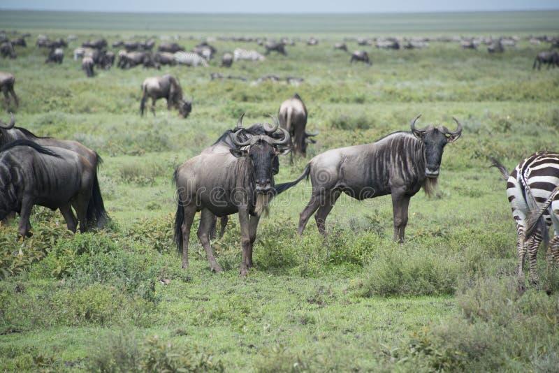 Wildebeests που μεταναστεύει κατά τη διάρκεια της μεγάλης μετανάστευσης στο Serengeti της Αφρικής στοκ εικόνες