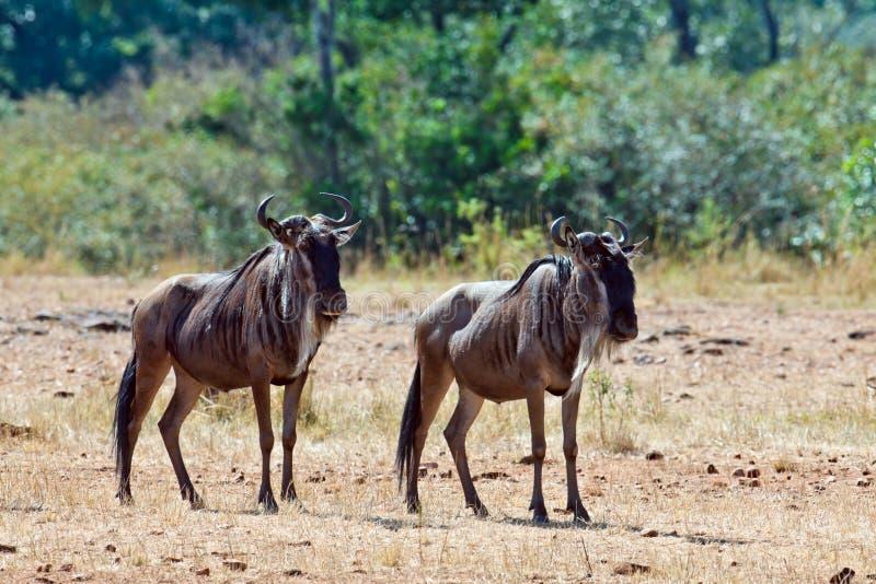 Wildebeests саванны 2 Стоковые Изображения RF