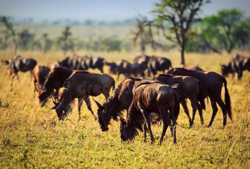 Wildebeests табун, гну на африканской саванне стоковое изображение rf