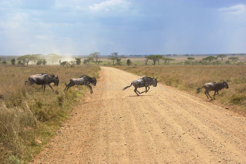 Wildebeests imagenes de archivo