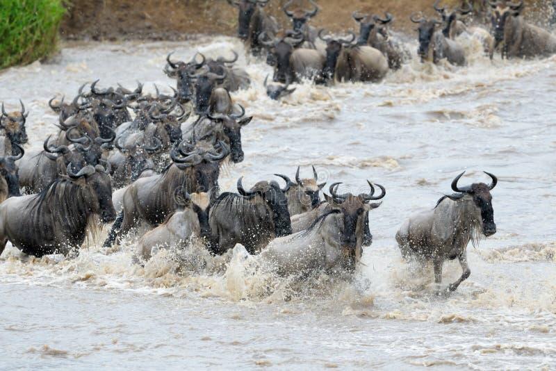 wildebeests fotografering för bildbyråer