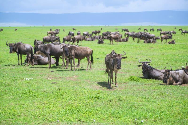 Wildebeests stockfotos