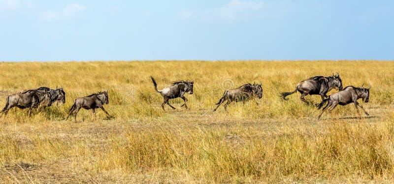 wildebeests image stock