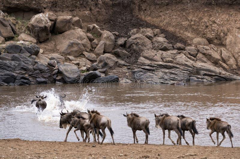 Wildebeests die Mara River op het tijdstip van Grote Migratie kruisen royalty-vrije stock foto's