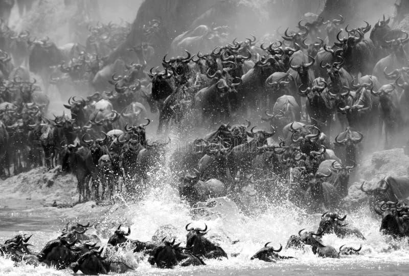 Wildebeests die over Mara River met plons van water migreren royalty-vrije stock afbeelding