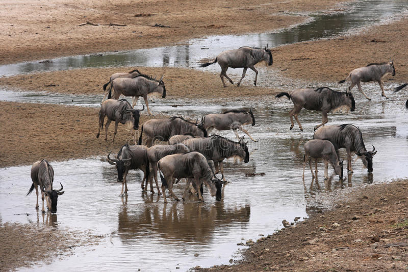 Wildebeests drinking at the river. Tarangire. The park is famous for its huge number of elephants, baobab trees and tree climbing lions. Visitors to the park royalty free stock image