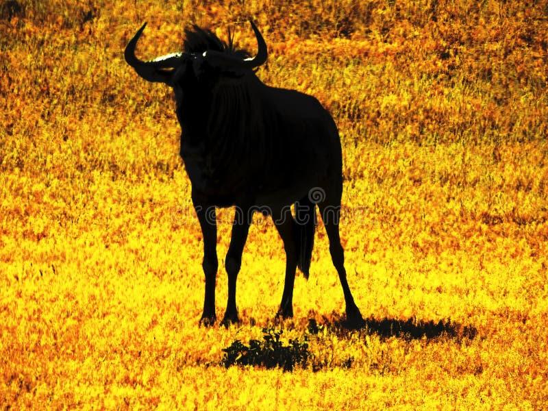 Wildebeests, Gnus stock afbeeldingen
