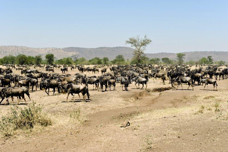 Wildebeests - gnus - en el serengeti fotos de archivo