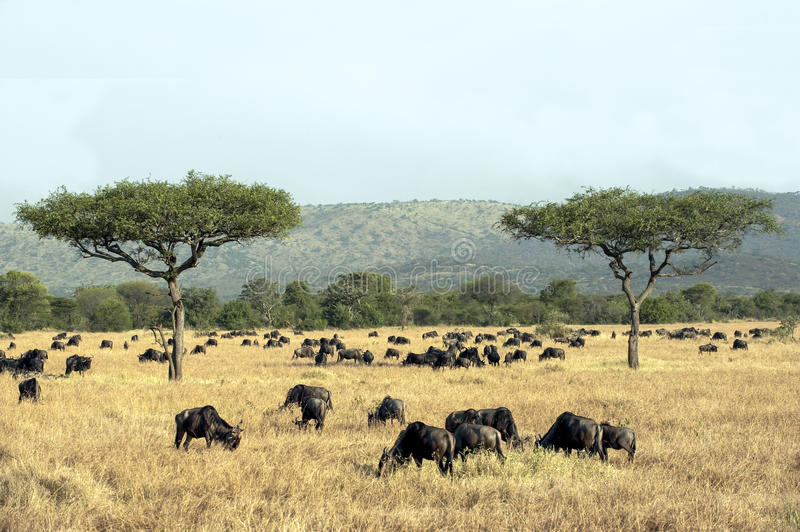 Wildebeests - gnus - i serengetien royaltyfria foton