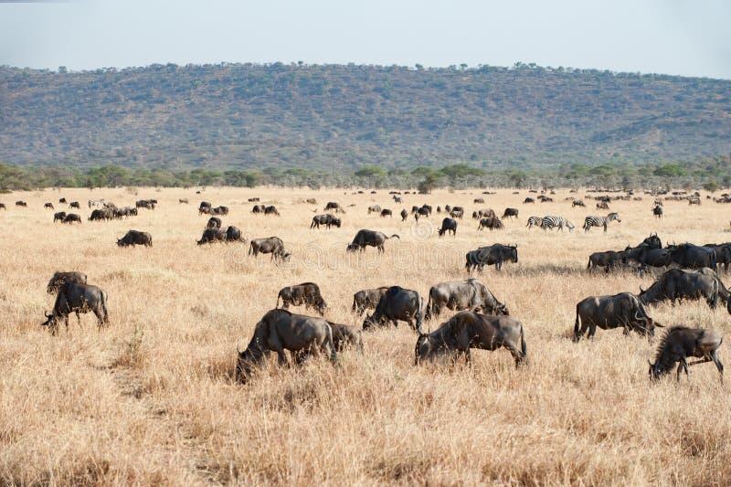 The Serengeti with hundrets of grazing wildebeests stock photo