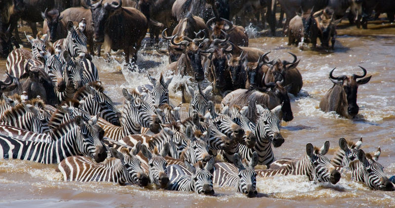 Wildebeests kruist Mara rivier Grote migratie kenia tanzania Masai Mara National Park royalty-vrije stock foto