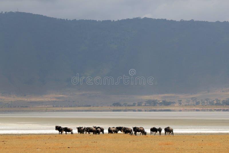 Wildebeests in Ngorongoro-Krater stock foto