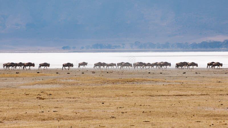 Wildebeests walking in line in Ngorongor Crater, Tanzania, Africa, lots of wildebeests stock photography