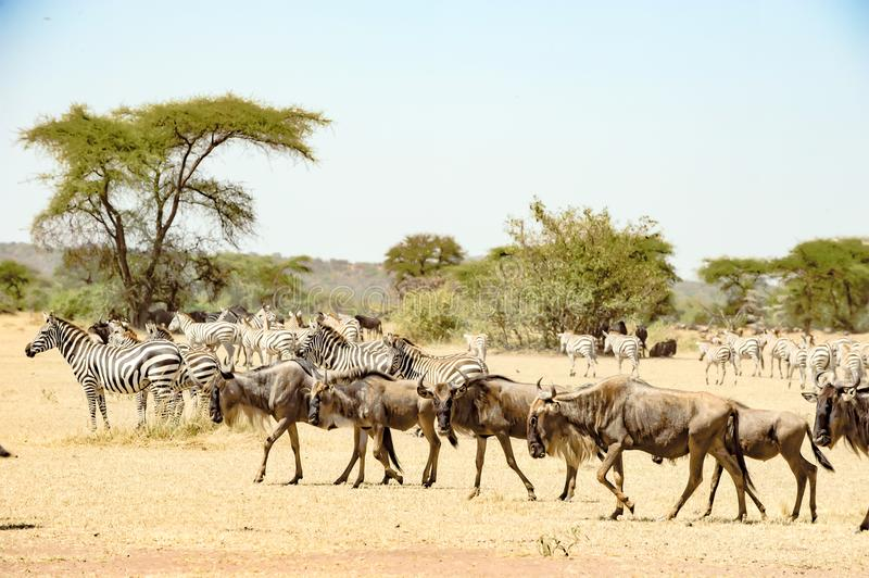 Wildebeests and Zebras at great migration time in Serengeti, Africa, hundrets of wildebeests together royalty free stock photography