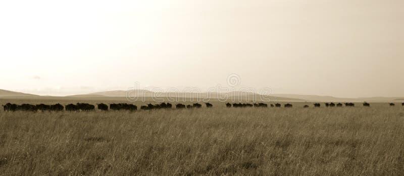 Wildebeestsystemumstellung stockfotos