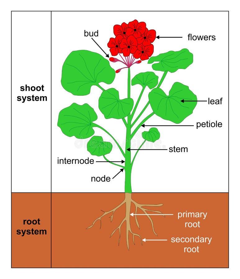 Wildemalva (Pelargonium zonale). Illustration showing the parts of a plant - wildemalva (Pelargonium zonale royalty free illustration