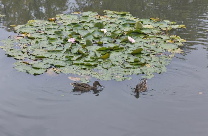 Wildente, die in den Teich mit Seerose schwimmt lizenzfreies stockfoto
