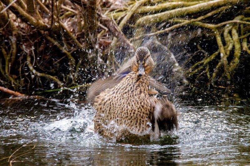 Wildente, die im Wasser nahe dem Ufer spritzt stockfoto