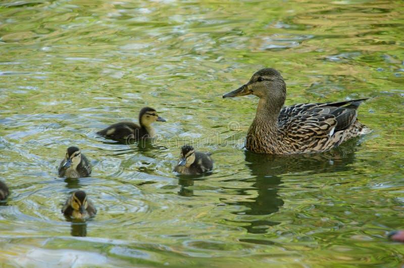 Wildente mit Entlein im Teich stockbilder
