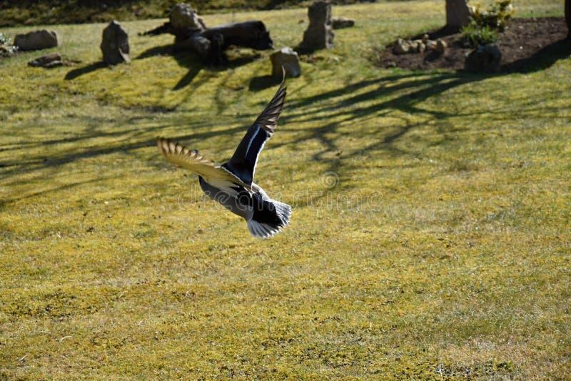 Download Wildentefliegen im Garten stockbild. Bild von flugwesen - 106800251