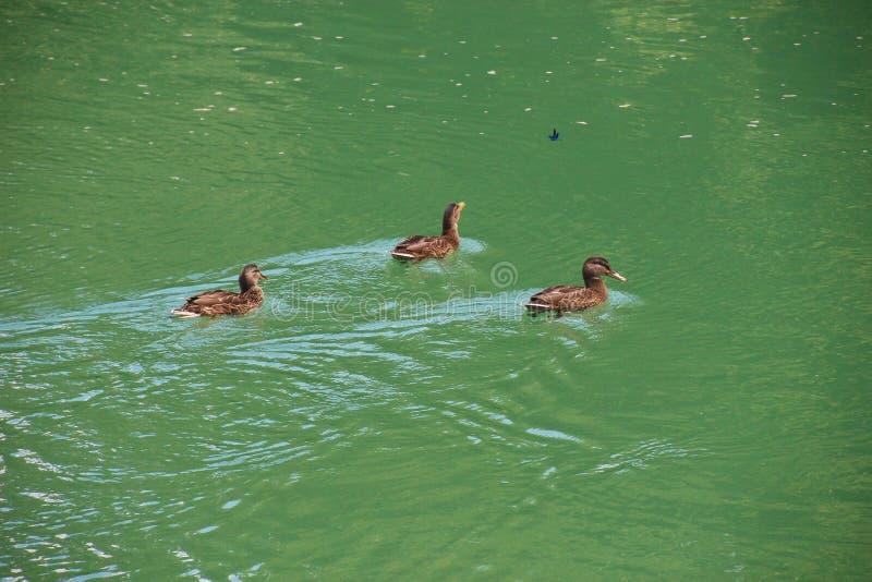 Wildenten auf dem wilden und schönen Vrabs-Fluss stockfotografie