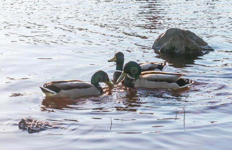 Wildenten, die auf Fluss im Sonnenunterganglicht schwimmen Frühlingslandschaft in Ost-Europa stockbilder