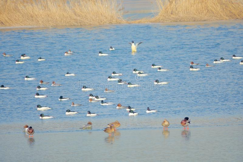 Wildenten im Winterfluß lizenzfreie stockfotos