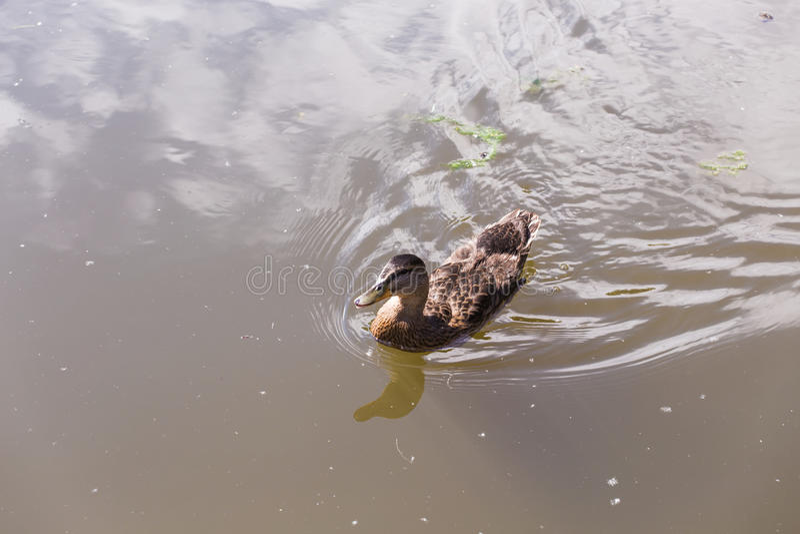 Wildenteschwimmen auf einem Gebirgssee lizenzfreies stockbild