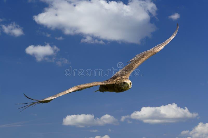 Wilder Adler im Flug lizenzfreies stockbild