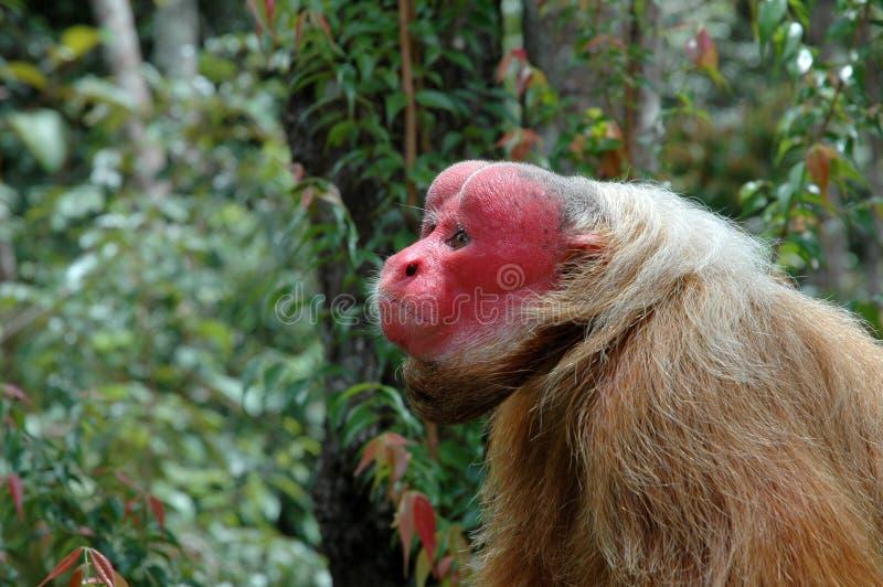 Wilder Affe Brasilien lizenzfreies stockbild