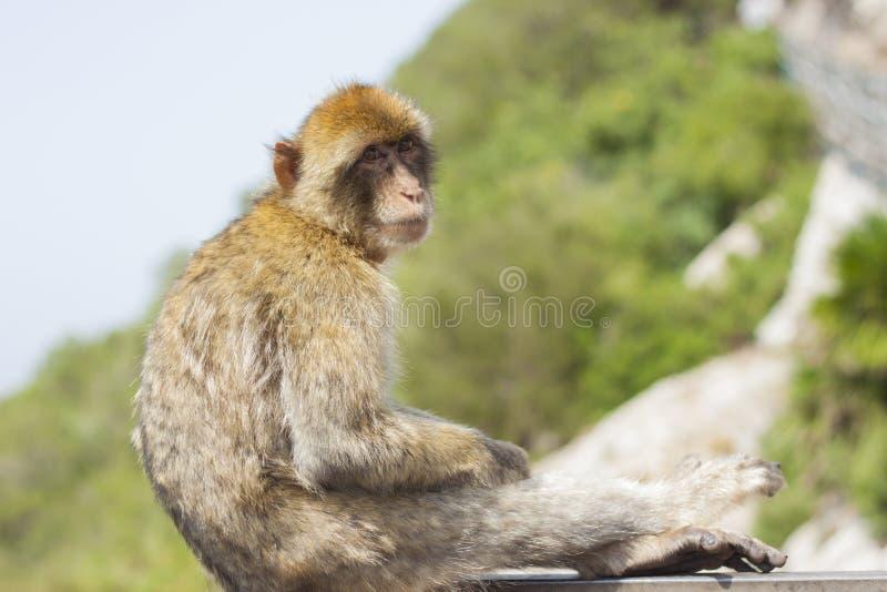 Wilder Affe in Gibraltar, das eine entspannende Zeit im Felsen hat Spezies: Macaca sylvanus lizenzfreie stockfotos