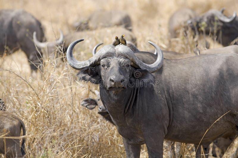 Wilder afrikanischer Büffel lizenzfreie stockbilder