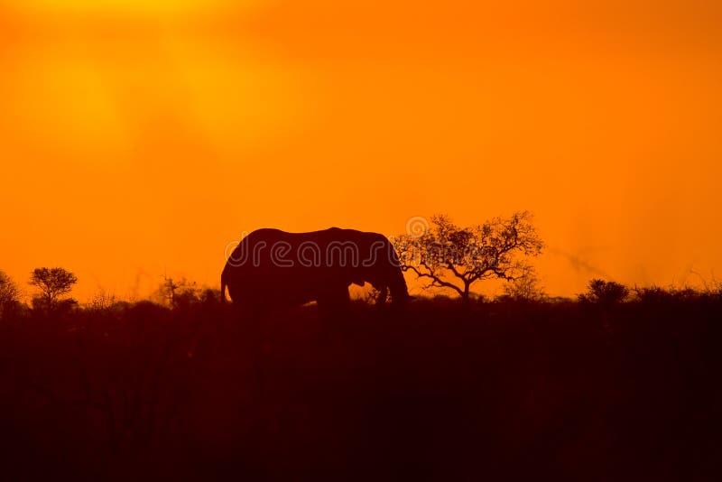 Wilder afrikanischer Elefant und Sonnenuntergang, Nationalpark Kruger, Südafrika stockfotografie