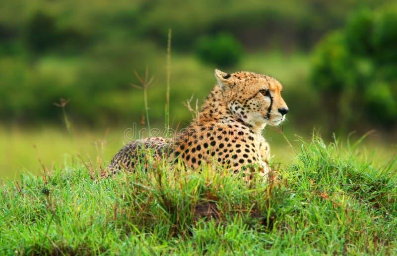 Wilder afrikanischer Gepard stockfotografie
