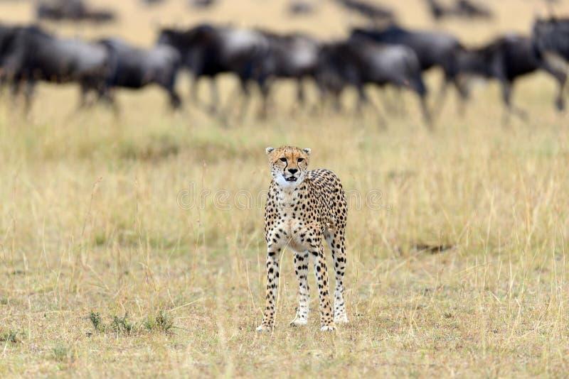 Wilder afrikanischer Gepard lizenzfreie stockbilder
