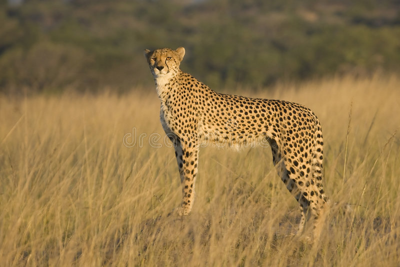 Wilder afrikanischer Gepard   stockfoto