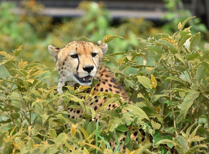 Wilder afrikanischer Gepard, der mit Opfer in den Büschen sich versteckt stockfoto