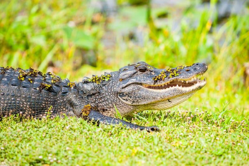 Wilder Alligator durch Florida-Sumpfgebiete stockfoto