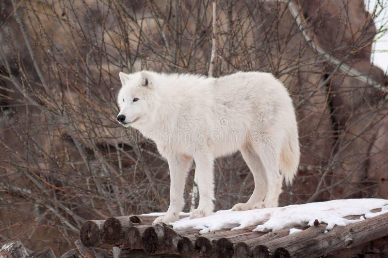 Wilder arktischer Wolf steht auf hölzernen Klotz Tiere in den wild lebenden Tieren Polarer Wolf oder weißer Wolf stockfoto