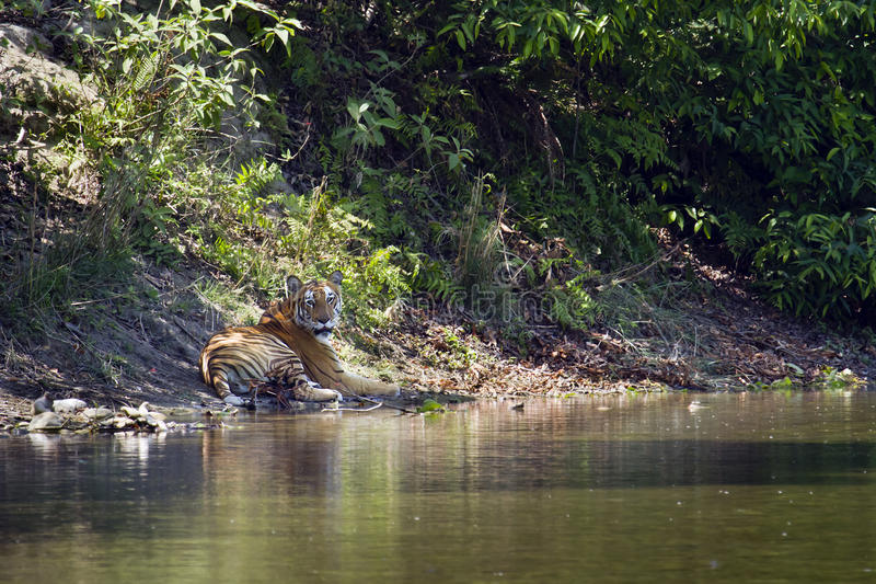 Wilder Bengal-Tiger in Nationalpark Bardia, Nepal lizenzfreie stockfotos