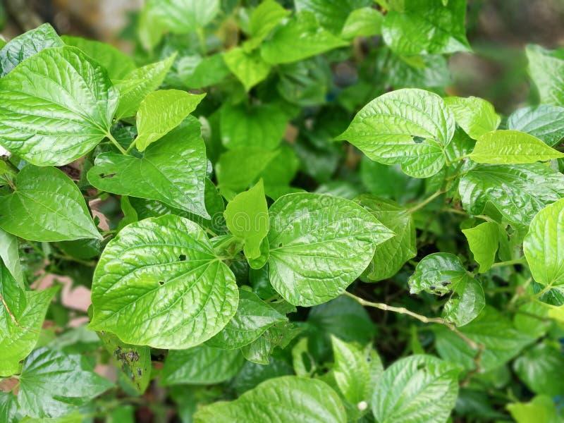 Wilder Betel Leafbush lizenzfreie stockbilder