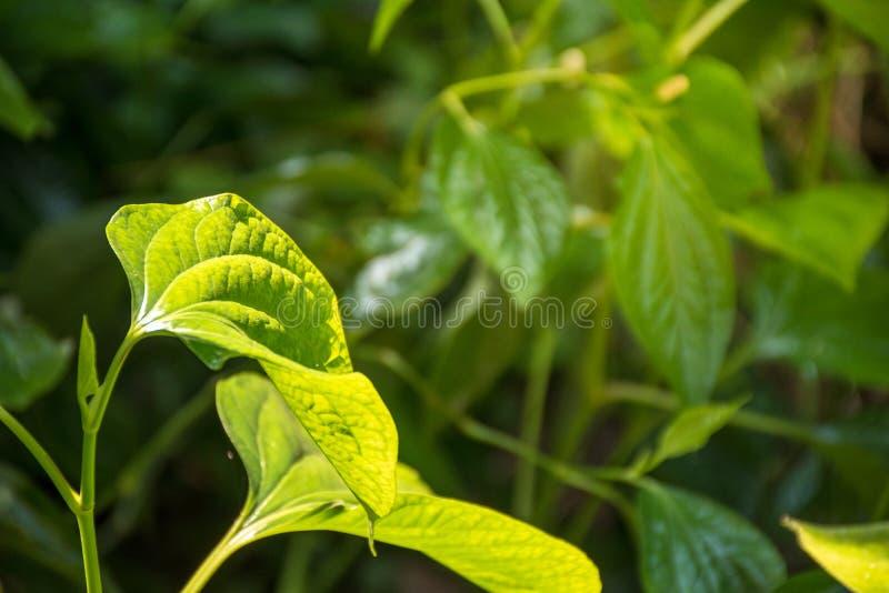 Wilder Betel Leafbush stockbilder