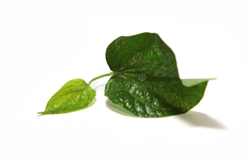 Wilder Betel Leafbush lizenzfreie stockfotos