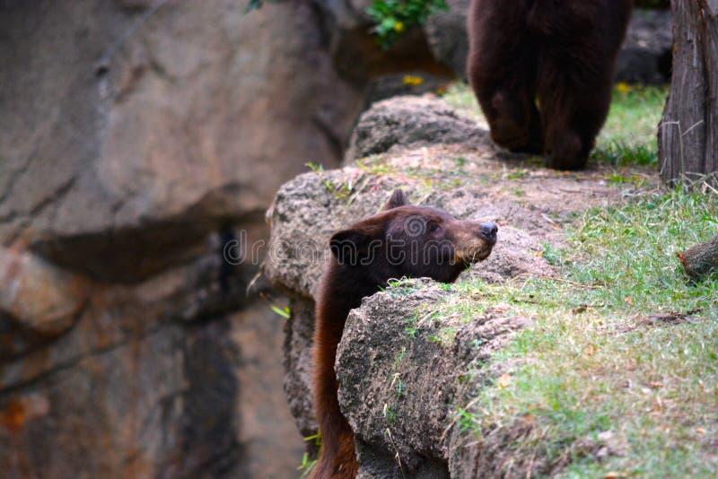 Wilder brauner Bär lizenzfreie stockfotografie