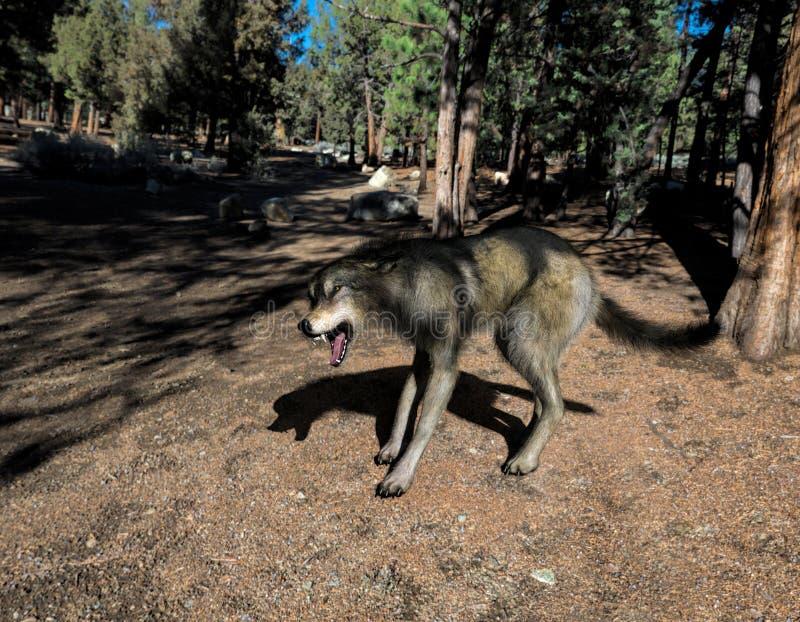 Wilder brauner und grauer Wolf lizenzfreie abbildung