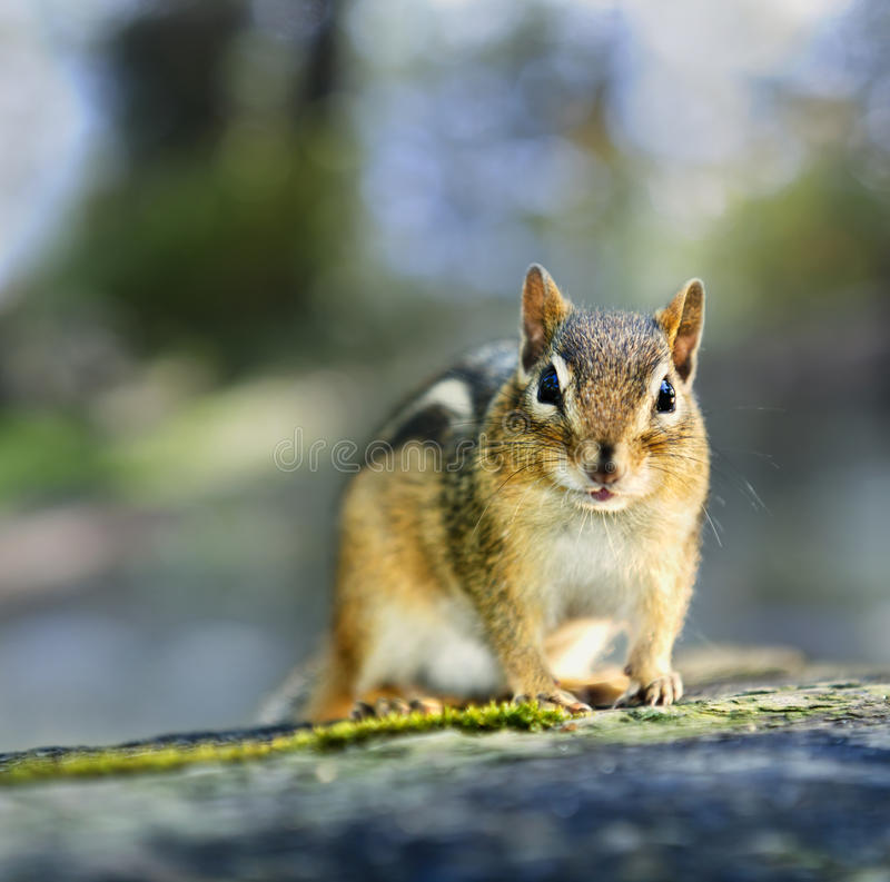 Wilder Chipmunk stockbild