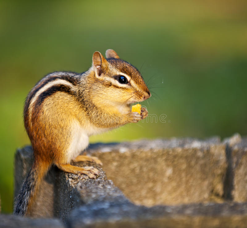Wilder Chipmunk, der Mutter isst stockfoto